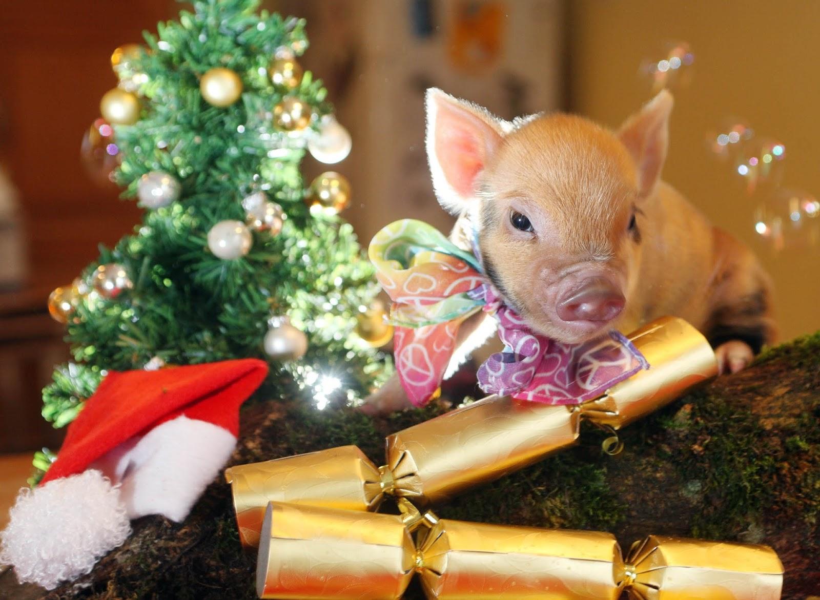 Занятия, прикольные картинки со свинками на новый год
